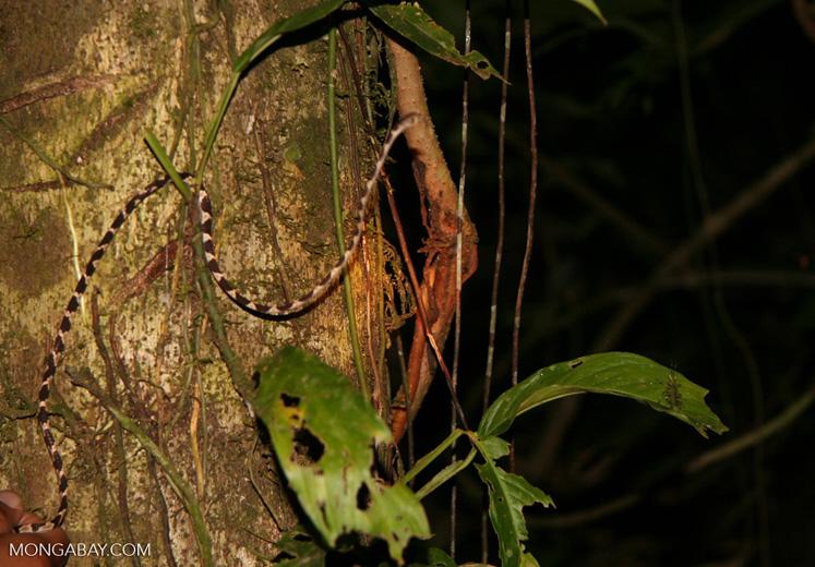 Blunt-headed treesnake (Imantodes lentiferus) [tambopata-Tambopata_1026_3760]