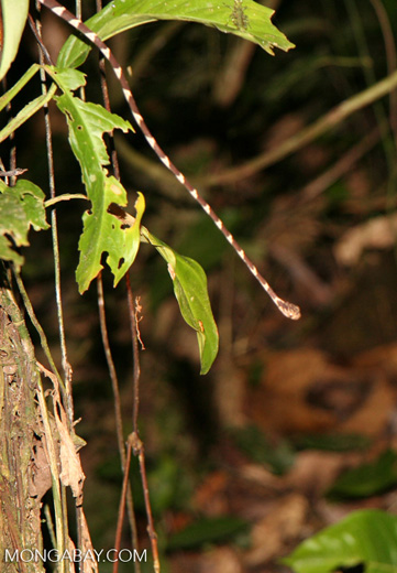 Blunt-headed tree snake (Imantodes lentiferus)