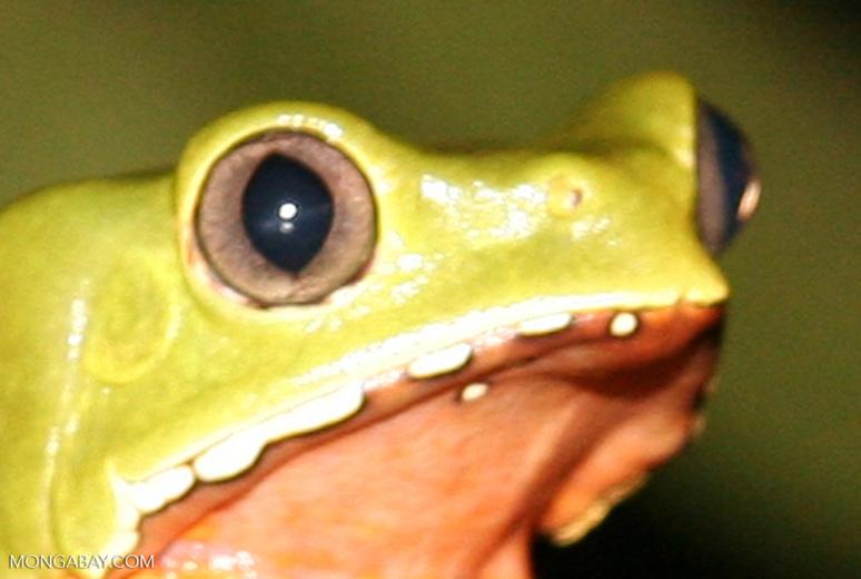 Monkey frog (Phyllomedusa bicolor) [tambopata-Tambopata_1026_3771a]