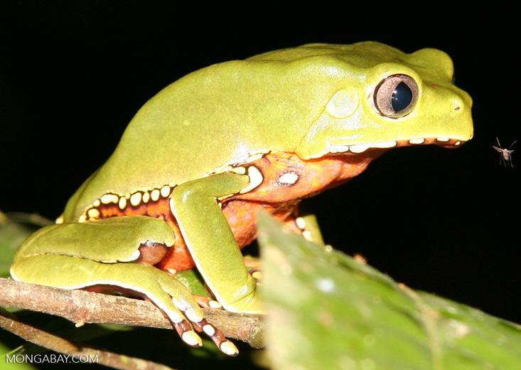 Monkey frog (Phyllomedusa bicolor) [tambopata-Tambopata_1026_3773a]