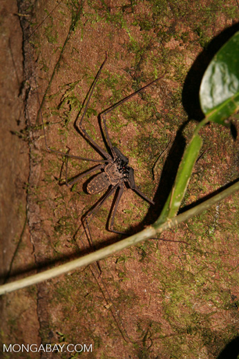 Tail-less whip scorpion (Amblypygid sp)