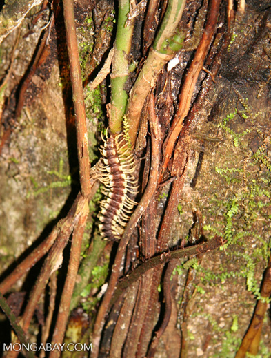 Black and yellow centipede in Amazon rainforest