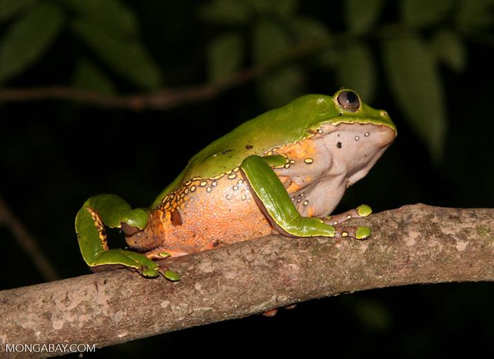 Monkey frog (Phyllomedusa bicolor) [tambopata-Tambopata_1026_3802]