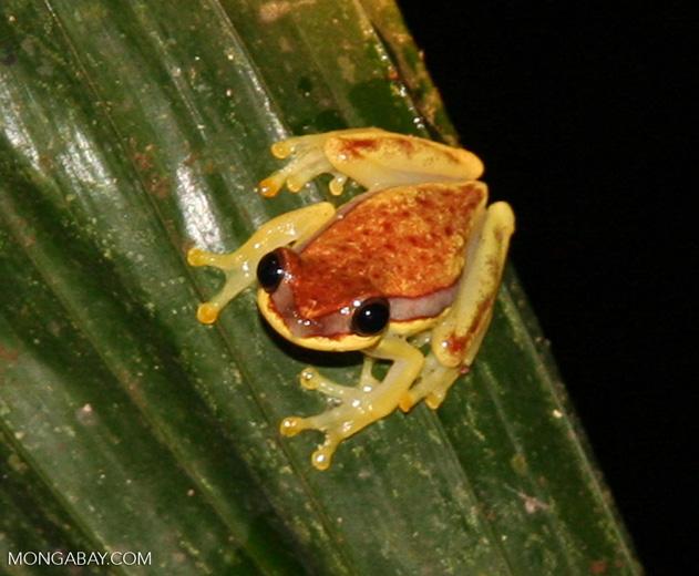 Hyla rhodopepla treefrog