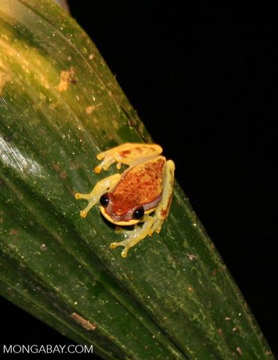 Hyla rhodopepla treefrog [tambopata-Tambopata_1026_3807]