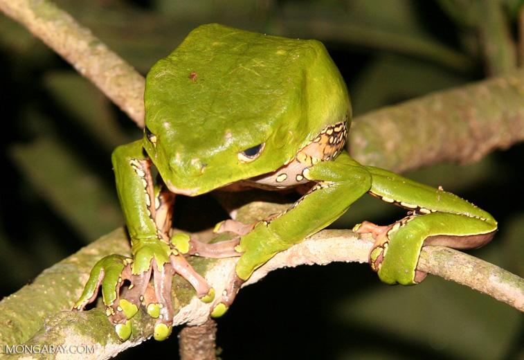 Monkey frog (Phyllomedusa bicolor) just awakened