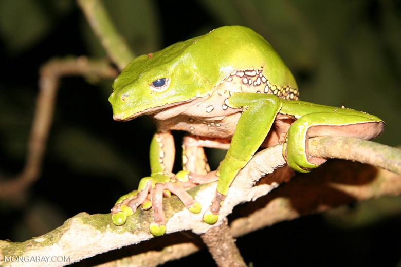 Sleepy Monkey frog (Phyllomedusa bicolor)