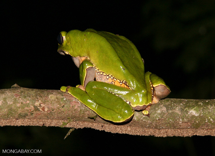 Monkey frog (Phyllomedusa bicolor) as viewed from behind