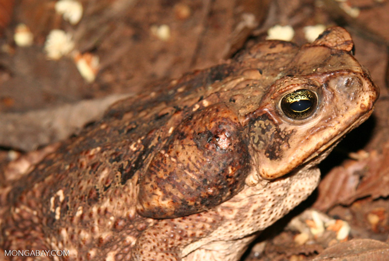 Cane toad (Bufo marinus) in the Amazon rainforest of Peru