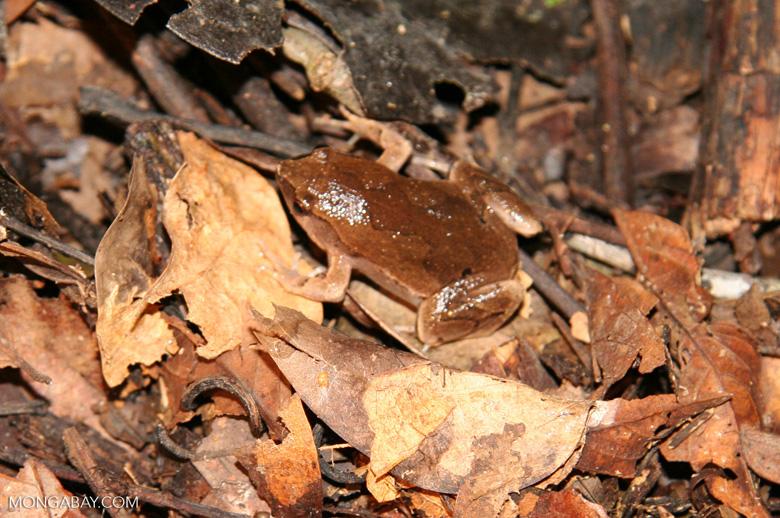 Bolvian bleating frog (Hamptophyne boliviana)