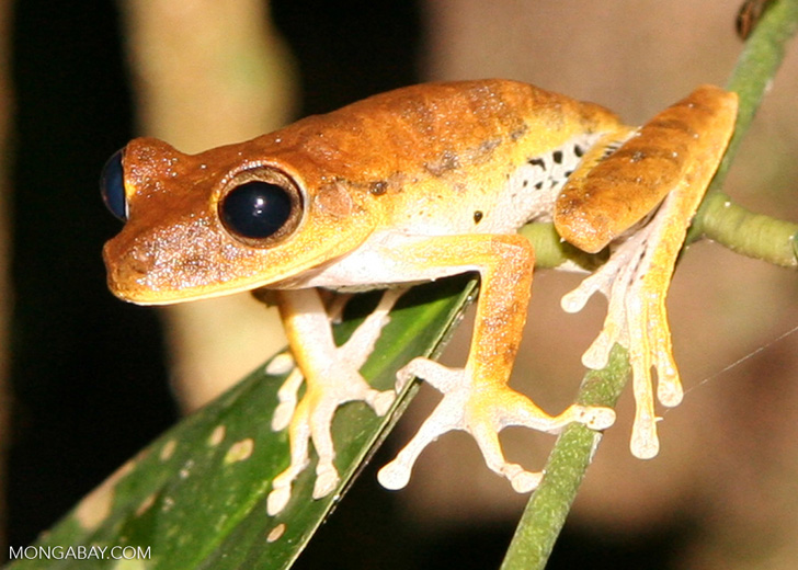 Hyla tree frog species