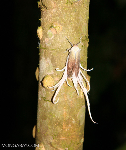 Latern fly in Peru (Fulgoridae)