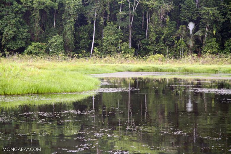 Reeds along oxbow lake in the Amazon [tambopata-Tambopata_1027_3456]
