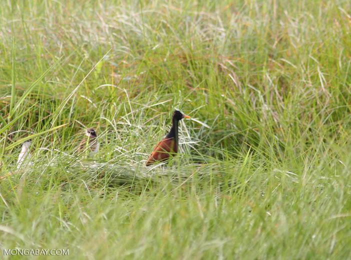 Wattled Jacana (Jacana jacana) in grass near Oxbow lake