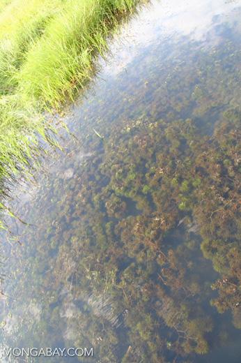 Foxtail growing as aquatic plant in an Oxbow lake in the Peruvian Amazon [tambopata-Tambopata_1027_3463]