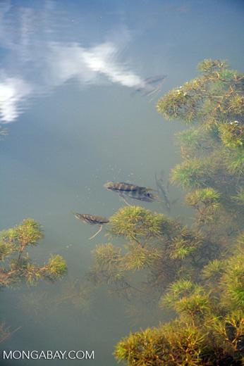 Festive cichlid fish (Mesonauta festivus) in an Oxbow lake in the Peruvian Amazon