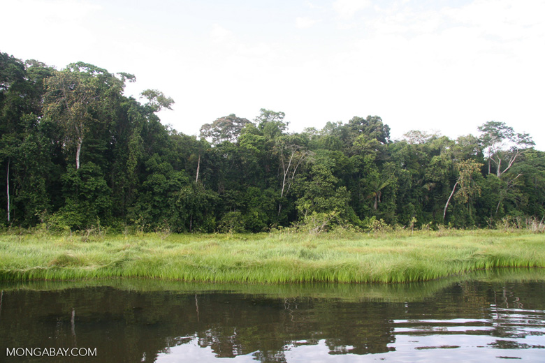 Reeds along oxbow lake in the Amazon