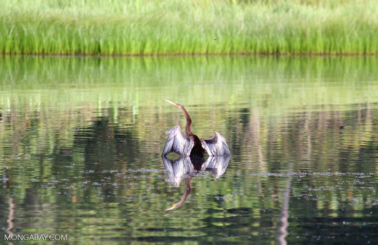 Anhinga in Oxbow lake