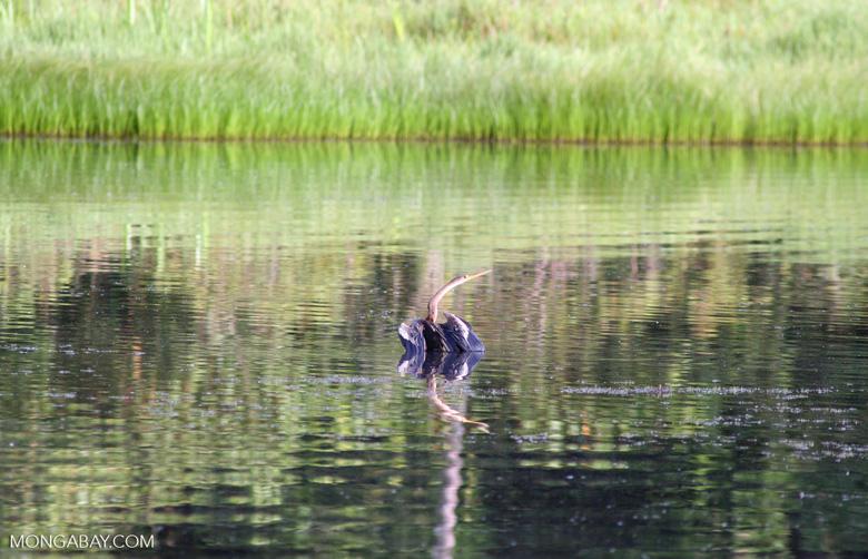 Anhinga in Oxbow lake