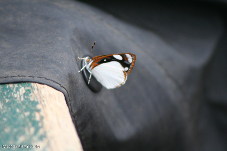 Brown; black; and white butterfly