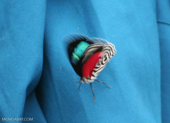Diaethria clymena butterfly on turquoise shirt