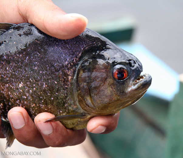 Serrasalmus piranha species