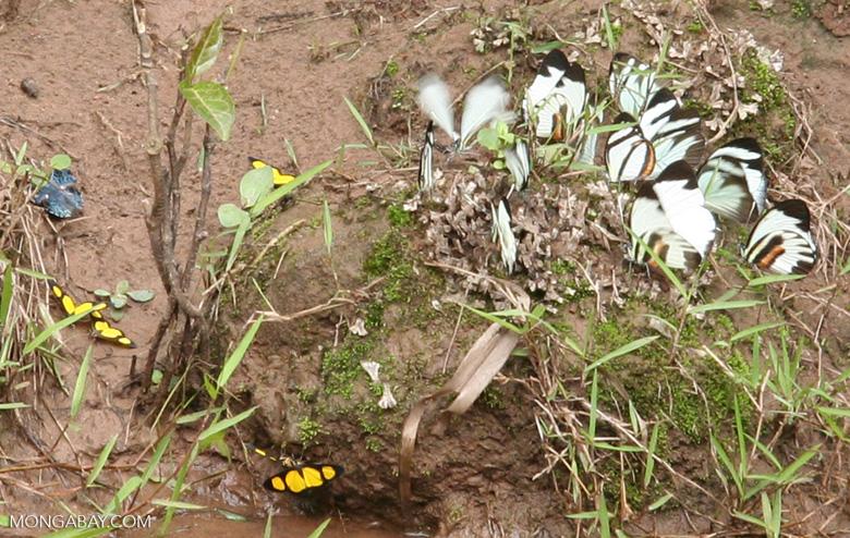 Caeruleuptychia lobelia;  Perrhybris pamela and yellow and black butterflies