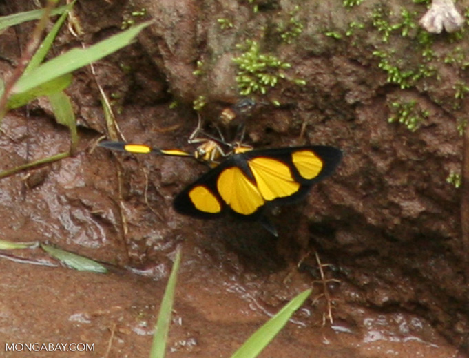Black and yellow butterflies at river's edge