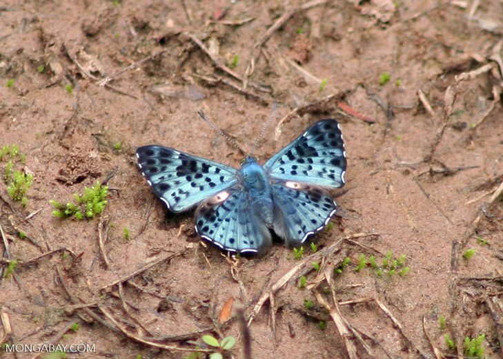 Lasaia agesilas butterfly