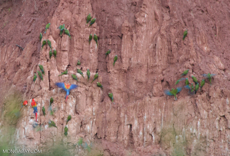 Cobalt-winged Parakeets (Brotogeris cyanoptera) feeding on clay wall with Scarlet macaws (Ara macao)