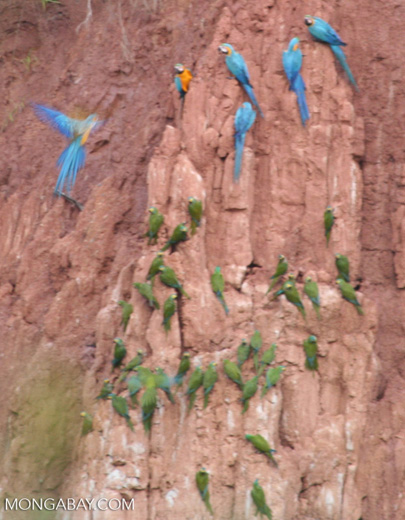 Macaws feeding on clay lick