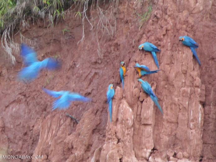 Macaws feeding on clay lick [tambopata-Tambopata_1027_3898]