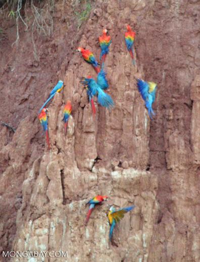 Macaws feeding on clay wall [tambopata-Tambopata_1027_3920]