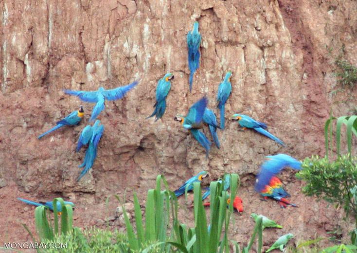 Macaws feeding on clay wall