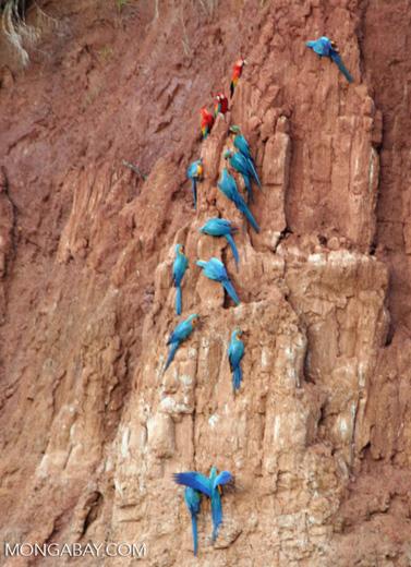 Macaws feeding on clay wall [tambopata-Tambopata_1027_3982a]