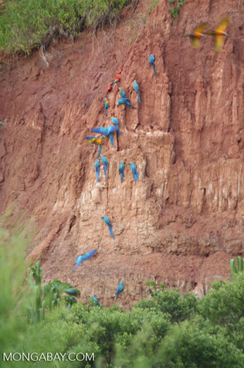 Macaws feeding on clay wall