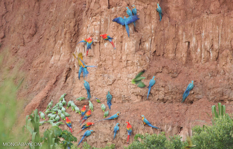 Blue-and-yellow macaws (Ara ararauna); Yellow-crowned parrots (Amazona ochrocephala); and Scarlet macaws feeding on clay [tambopata-Tambopata_1027_4058]
