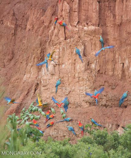 Blue-and-yellow macaws (Ara ararauna); Yellow-crowned parrots (Amazona ochrocephala); and Scarlet macaws feeding on clay [tambopata-Tambopata_1027_4059]