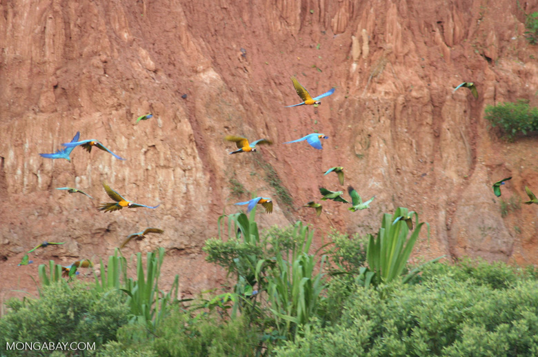 Blue-and-yellow macaws (Ara ararauna) and Red-bellied macaws (Ara manilata)