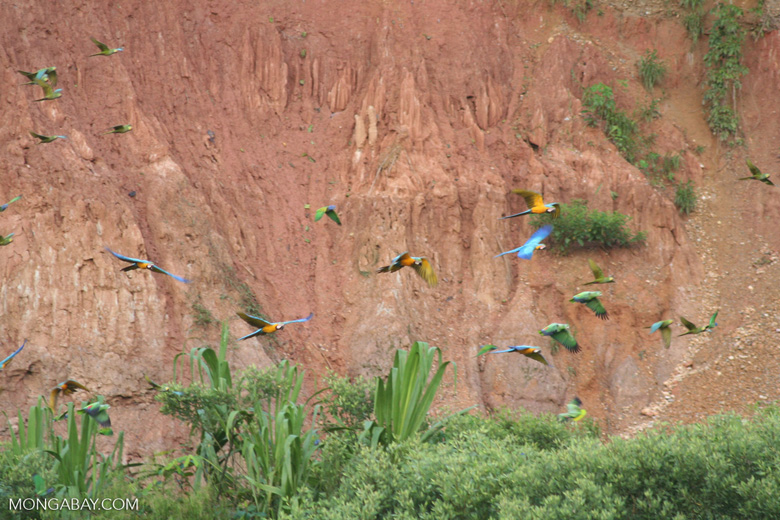 Blue-and-yellow macaws (Ara ararauna) and Red-bellied macaws (Ara manilata) [tambopata-Tambopata_1027_4099]