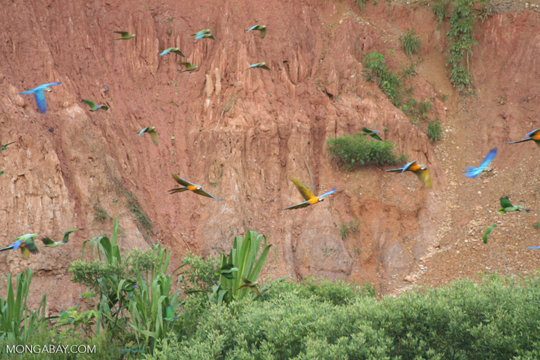 Blue-and-yellow macaws (Ara ararauna) and Red-bellied macaws (Ara manilata)