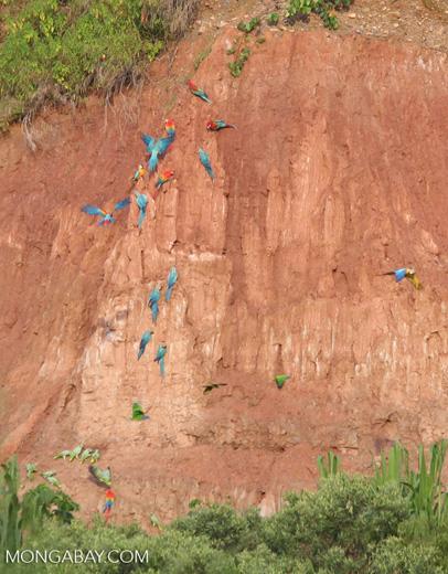 Blue-and-yellow macaws (Ara ararauna); Yellow-crowned parrots (Amazona ochrocephala); Red-and-green macaws and Scarlet macaws feeding on clay [tambopata-Tambopata_1027_4112a]