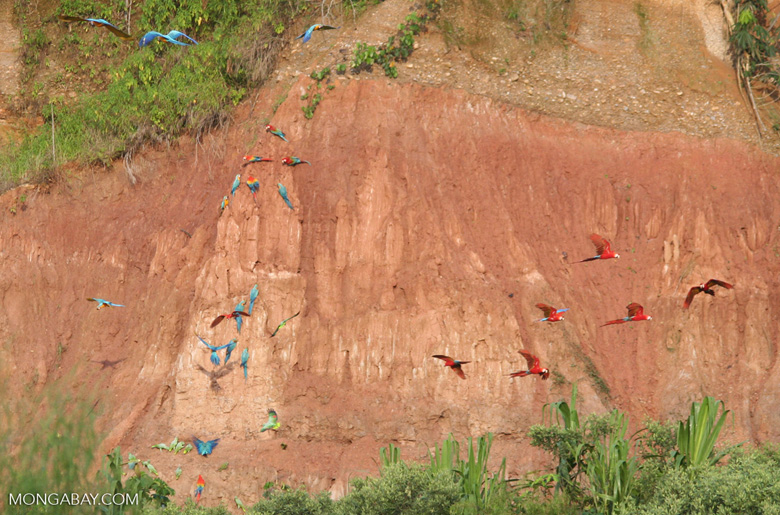 Blue-and-yellow macaws (Ara ararauna); Yellow-crowned parrots (Amazona ochrocephala); Red-and-green macaws and Scarlet macaws feeding on clay [tambopata-Tambopata_1027_4115]