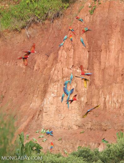 Blue-and-yellow macaws (Ara ararauna); Yellow-crowned parrots (Amazona ochrocephala); Red-and-green macaws and Scarlet macaws feeding on clay [tambopata-Tambopata_1027_4117]