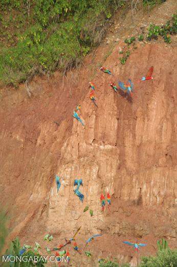 Blue-and-yellow macaws (Ara ararauna); Yellow-crowned parrots (Amazona ochrocephala); Red-and-green macaws and Scarlet macaws feeding on clay [tambopata-Tambopata_1027_4121]