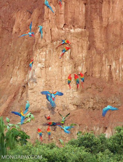 Blue-and-yellow macaws (Ara ararauna); Yellow-crowned parrots (Amazona ochrocephala); Red-and-green macaws and Scarlet macaws feeding on clay [tambopata-Tambopata_1027_4124]