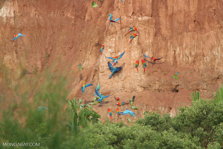 Blue-and-yellow macaws (Ara ararauna); Yellow-crowned parrots (Amazona ochrocephala); Red-and-green macaws and Scarlet macaws feeding on clay [tambopata-Tambopata_1027_4126]