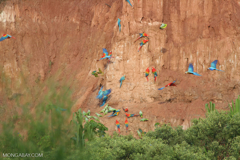 Blue-and-yellow macaws (Ara ararauna); Yellow-crowned parrots (Amazona ochrocephala); and Scarlet macaws feeding on clay [tambopata-Tambopata_1027_4128]