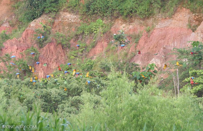 Large group of parrots and macaws flying [tambopata-Tambopata_1027_4141]