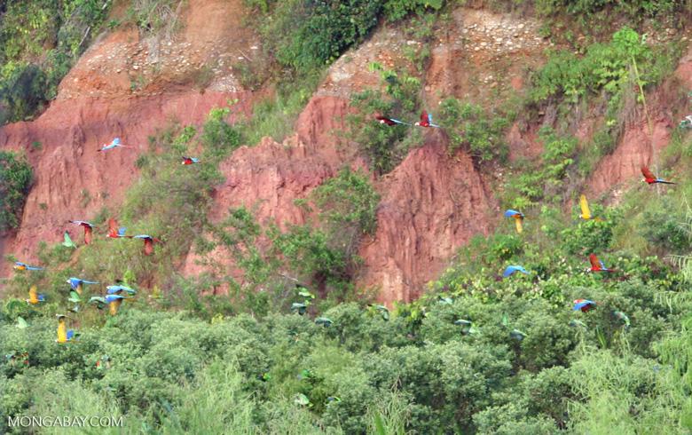 Large group of parrots and macaws flying [tambopata-Tambopata_1027_4143]